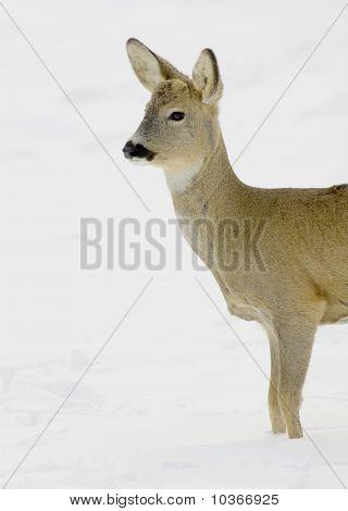 Roe deer (Capreolus capreolus) in a winter scene