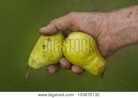 Old Farmers Hands With Two Picked Ripe Pears