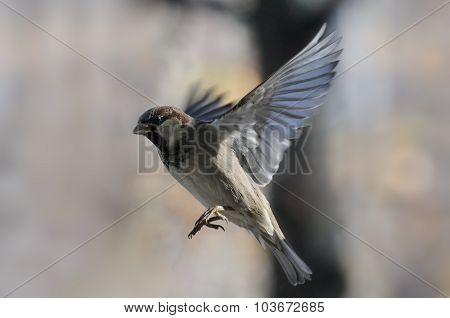 Flying House Sparrow