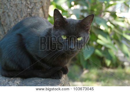 Black Cat With Green Eyes On A Background Of Summer Foliage Looks Into The Camera. It Can Be Used Fo