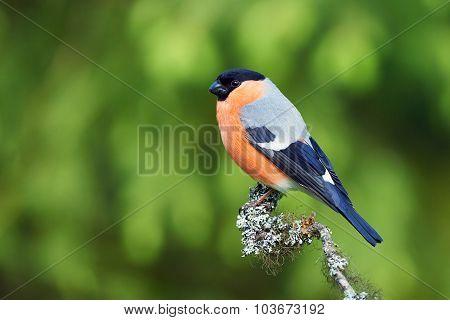 European Bullfinch