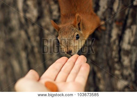 Squirrel eats with his hands.
