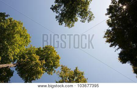 Tree Tops And Sun Burst