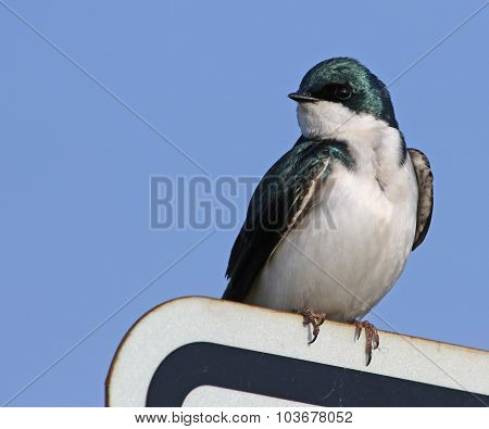 Tree Swallow on a Sign