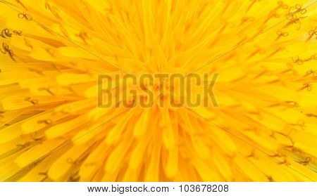 Macro Of Abstract Yellow Flower, Closeup Sow-thistle