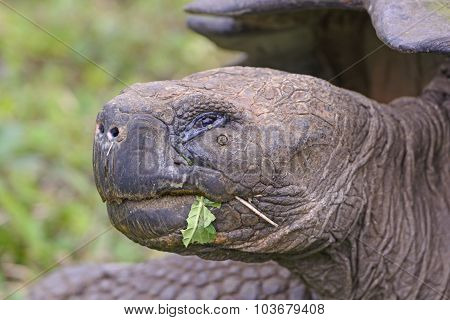 Head Shot Of A Galapagos Giant Tortoise