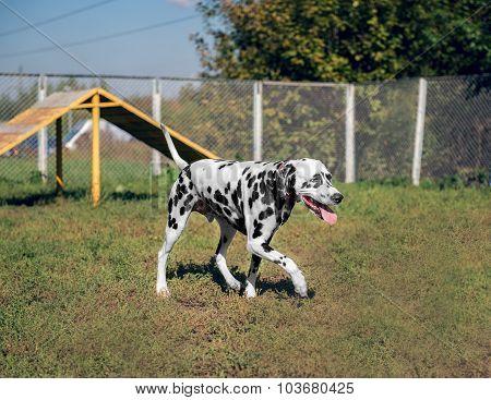 Dalmatian in the nature