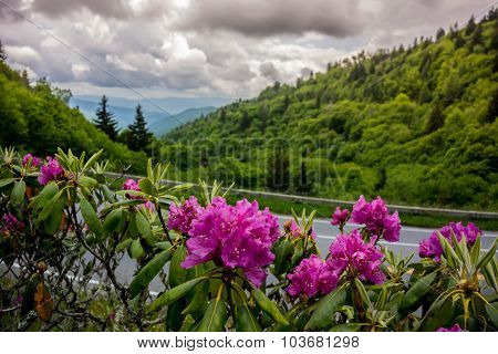 Rhododendron In Great Smoky Mountains National Park