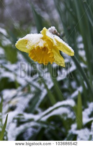 Snow Covered Daffodil Flower Struggles For Survival