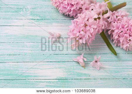 Background With Fresh Hyacinths Flowers