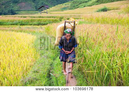 Hmong ethnic minority people  in terraced rice field in Mu Cang Chai, Vietnam