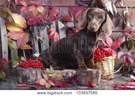 purebred miniature dachshund dog