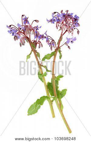 Borage herb flowers over white background. Used in alternative herbal medicine.