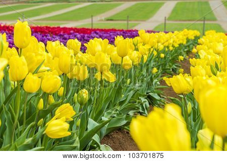 Tulip field with colourful flowers