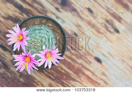 Pink Flower Of Cactus In Pot On Old Wood Table