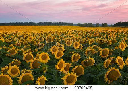 Big Field With Sunflowers Against A Bright Sunrise
