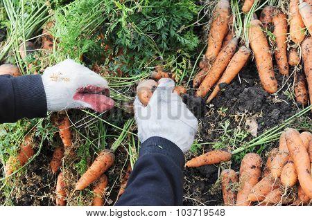 Farmer Plucking Carrot