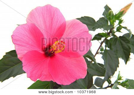 rose mallow close-up