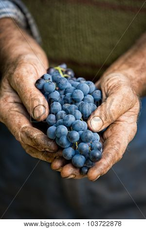 Farmers hands with cluster of grapes, farming and winemaking concept