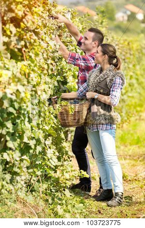 young couple working together  in vineyard at harvest time