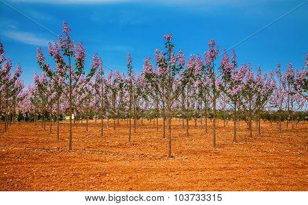 Paulownia Trees Plantation