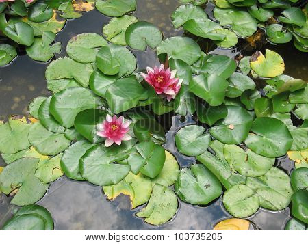 Lily with leaves