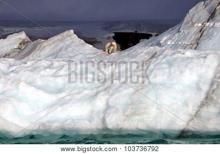 Polar bear eating his prey on iceberg