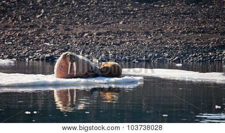 Walrus cow with cub on ice floe