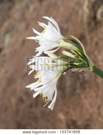 Pancratium Canariense