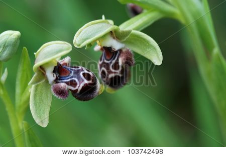 Ophrys Kotschyi Orchid Wild Flower