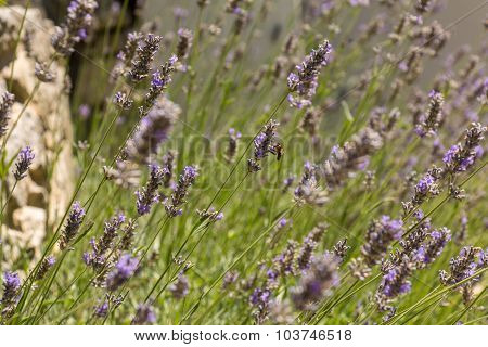 Bee Gathering Honey In A Lavender Field