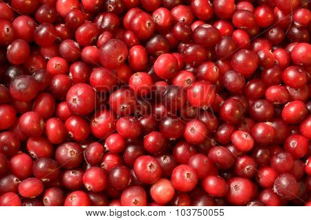 colorful red cranberries background close up