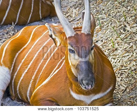 Beautiful Striped Gazelle With Horns