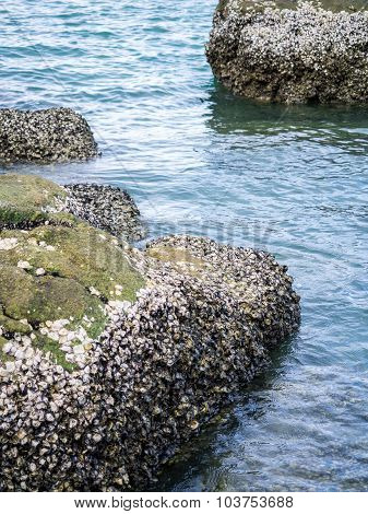 Barnacles On The Submerged Rock