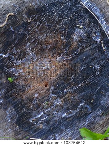 wood texture of an apple tree