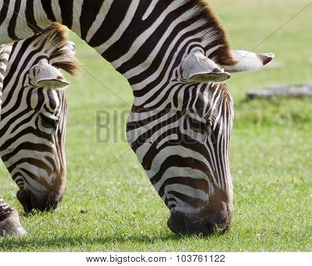 Two Beautiful Zebras