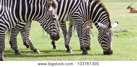 Three Beautiful Zebras Together