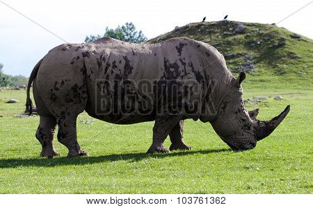Beautiful Background With The White Rhinoceros