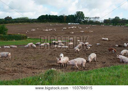 Free Range Pigs Grazing