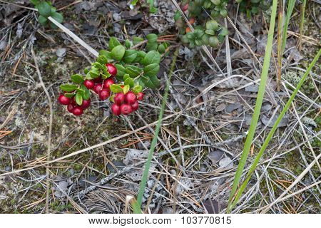 Wild lingonberries growing among leafes in forest.