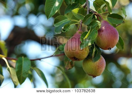 Branch of pear tree close up
