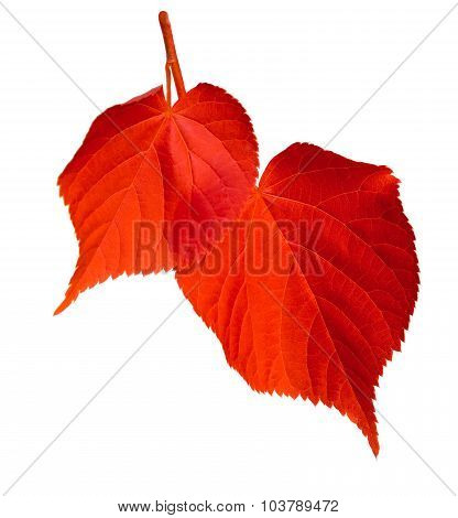 Red Linden-tree Leafs On White Background