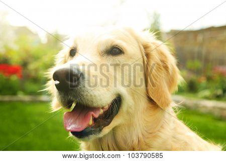 Adorable Golden Retriever on nature background