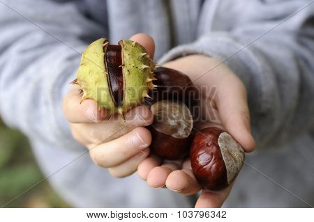 chestnuts in a little boys hand