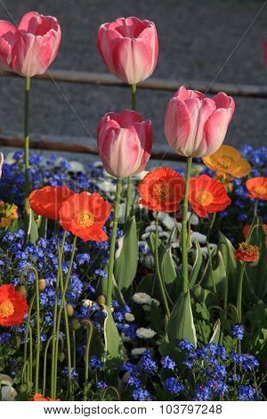 Flowerbed With Pink Tulips And Multicolored Garden Flowers