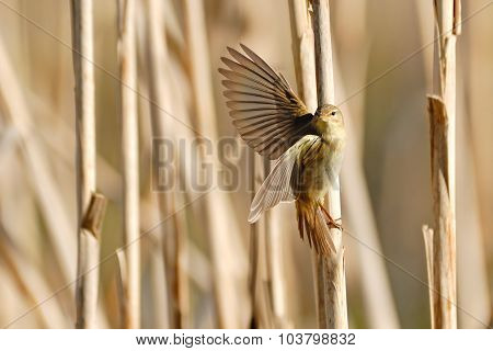 Willow Warbler Flapping Wings At Dry Reeds