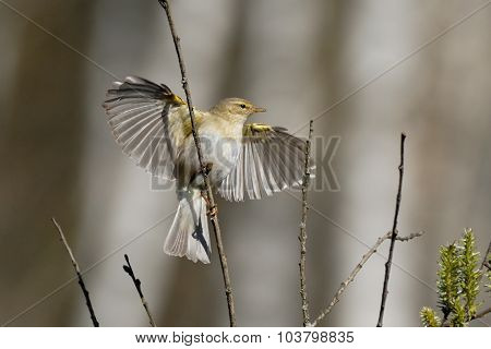 Willow Warbler Flapping Wings In Spring