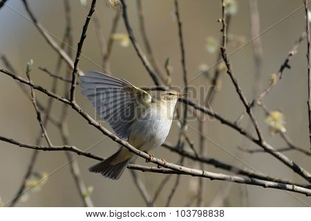 Willow Warbler Flapping Wings In Spring Willows