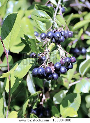 Branches With Bunches Of Aronia Berries