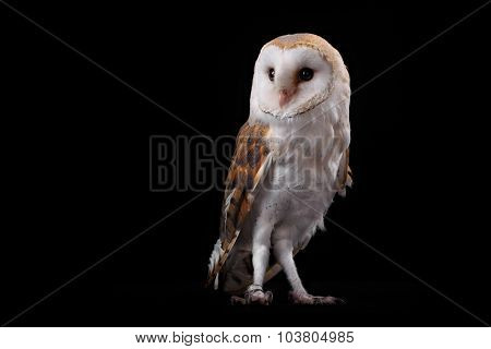 Barn Owl Tyto alba, on perch looking left. Low key studio shot taken against a dark background.